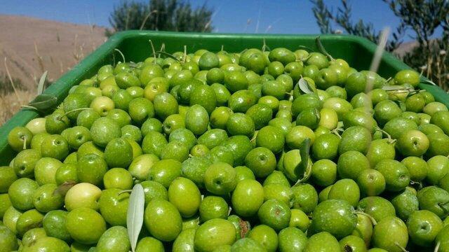 دالاهو؛ تولیدکننده 3 تا 5 درصد زیتون تولیدی کشور